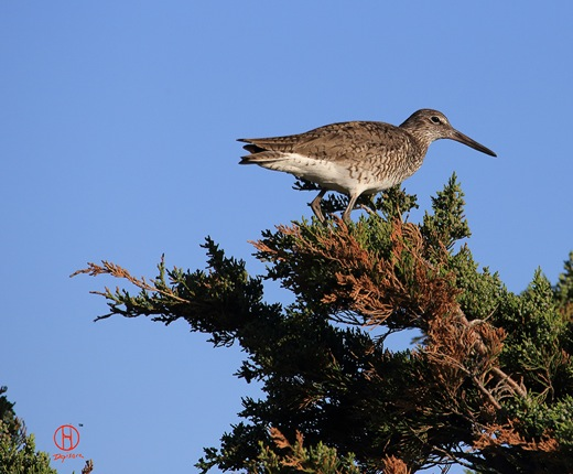 Willet, Cape Cod birds.
