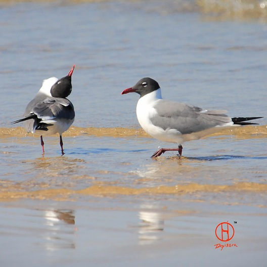 Laughing Gull. Cape Cod birds.