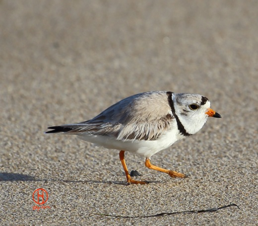 Piping Plover, breeding. Wellfleet, MA. Cape Cod birds.