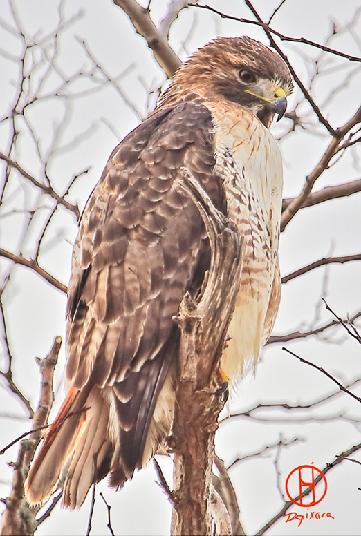Red Tailed Hawk. Cape Cod birds, Cape Cod national Seashore.