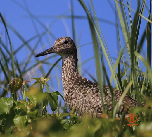 Willet breeding. Cape Cod birds.