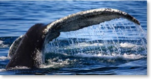 unframed print wildlife photos humpback whale tail