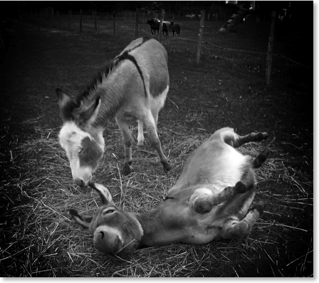 Farm animals: two donkeys pinhole art.