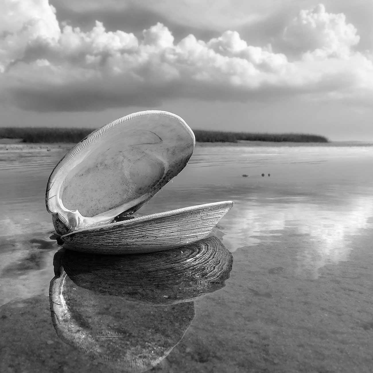 Black and white quahog shell black and white photography print by dapixara